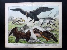 Kirby & Schubert 1889 Print. Egyptian & Griffin Vulture, Condor, Secretary Bird